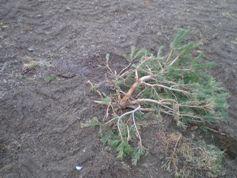 El número de pinos afectados por los movimientos de tierras de la plataforma es de entre 20 y 40.
