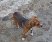 Un perro lleva abandonado en Candelario desde el pasado puente.