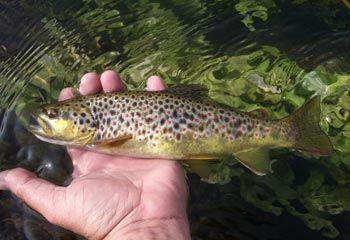 Comienza la temporada truchera en los ríos sureños de la Comunidad